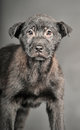 Pooch black puppy on a gray background Stock Photography