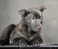 Pooch black puppy on a gray background Stock Images