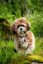 Pooch a cute brown fluffy puppy with tags playing and exploring in the woods shallow depth of field Royalty Free Stock Image