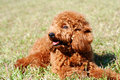 Poodle bask in the sun lying on lawn Stock Photo