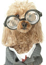 Poodle business suit big glasses isolated white background Royalty Free Stock Image