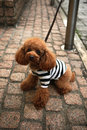 Poodle dog found in japan Royalty Free Stock Image