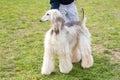 Poodle dog in the gren park