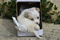 Poodle dog left in a cardboard box for adoption cute on street Royalty Free Stock Image
