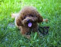 Poodle dog lie on grass ground Royalty Free Stock Photos