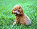 Poodle dog lie on grassground Stock Photography