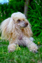 Poodle dog nice lying in garden on green grass Royalty Free Stock Image