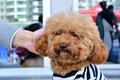 Poodle dog with people friendly a beautiful and lovely be Stock Photo