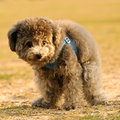 Poodle Doing His Thing Stock Photography