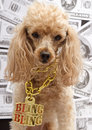 A poodle in a gold chain with bling bling on it with money in the background Royalty Free Stock Photo