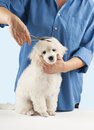 Poodle grooming at the salon for dogs Royalty Free Stock Photo