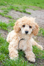 Poodle laying on grass Royalty Free Stock Photos