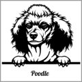 Poodle - Peeking Dogs - breed face head isolated on white Royalty Free Stock Photo