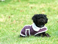 Poodle pup. Royalty Free Stock Photos