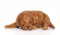Poodle pup lies on a white background. Royalty Free Stock Photography