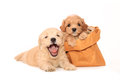 Poodle puppies in bag Stock Photography