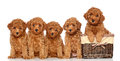 Poodle puppies with basket wicker on a white background Royalty Free Stock Image