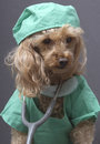 Poodle scrubs stethoscope gray background Royalty Free Stock Photos