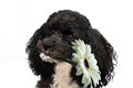Poodle wishes happy birthday Royalty Free Stock Photo