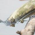 Pool frog Royalty Free Stock Photo