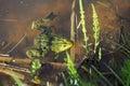 Pool frog (Pelophylax lessonae) Royalty Free Stock Photo