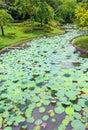 Pool of leaf lotus Royalty Free Stock Photo