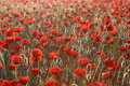Poopies sunrise morning field of red poppies Stock Images