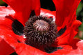 Poopy black middle of a red poppy Stock Photos