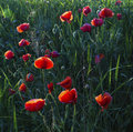 Poopy field in spring poppy an wheat red flowers an green grass Stock Photos