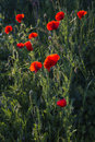 Poopy field in spring poppy an wheat red flowers an green grass Royalty Free Stock Image