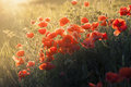Poopy flowers field poppy an wheat in spring red an green grass Royalty Free Stock Photo