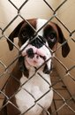 Poor boxer baby! Royalty Free Stock Photo