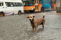 Poor street dog standing in rain flood water with traffic jam background Royalty Free Stock Image