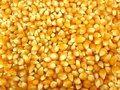 Popcorn corn kernels- dried Royalty Free Stock Photos