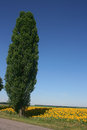 Poplar on the edge of a field of blooming sunflowers Royalty Free Stock Photo