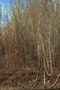 Poplar forests