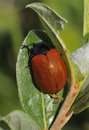 Poplar leaf beetle chrysomela populi on willow Stock Image