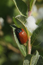 Poplar leaf beetle chrysomela populi on willow Stock Photos