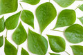 Poplar leaves Royalty Free Stock Photo