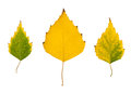 Poplar leaves yellow isolated on a white background Stock Images