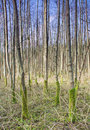Poplar plantation Stock Images