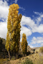 Poplar tree in autumn Royalty Free Stock Images
