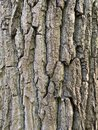 Poplar tree bark Royalty Free Stock Photo