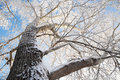 Poplar tree crown at winter in snow hoarfrost Royalty Free Stock Images