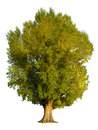 Poplar tree isolation Stock Photography