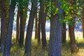 Poplar tree trunks Royalty Free Stock Photo