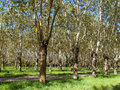 Poplar trees in the countryside italy Stock Photography
