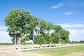 Poplar trees the landscape of in farmland Stock Photo