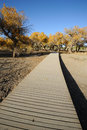 Poplar trees with path in autumn populus euphratica located inner mongolia ejinaqi china Stock Photos