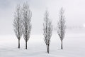 Poplar trees in soft,tranquil environment in winter time